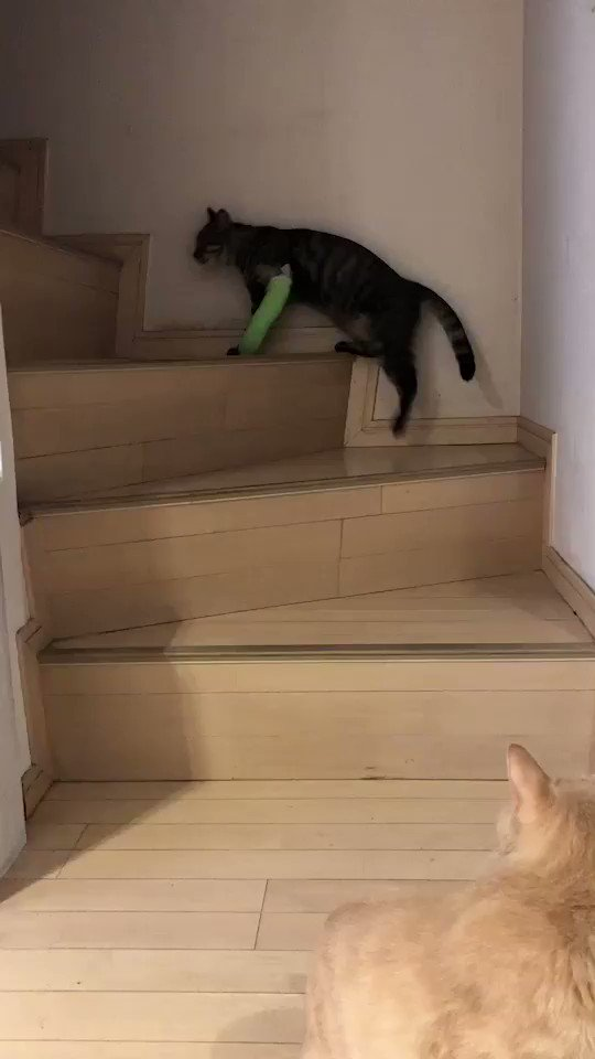 こぎんです。妹のあんずが階段を一人で登り始めた。前までは風のように走って登っていたが今は1段1段登るのが精一杯だ。しかし自分の足で登り始めたのは大いなる進歩であり前進だから見ているこっちも勇気を貰っている。このまま元気よく走り回れるようになるまで僕は全力でサポートしようと思う。