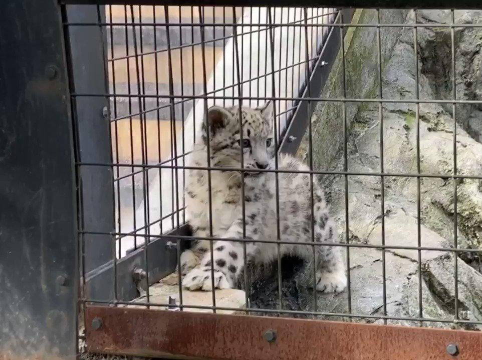 旭山動物園のユキヒョウのジーマの赤ちゃん。上に登ってしまったお母さんを呼んで、ピーピー鳴いてました。可愛らしい鳴き声でとても可愛かったです。※動画音あり#旭山動物園 #ユキヒョウ