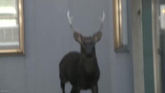 20日午前、札幌市の住宅地でシカ1頭が見つかり、警察と札幌市で捕獲するかどうかなど対応を検討しています。#nhk_video