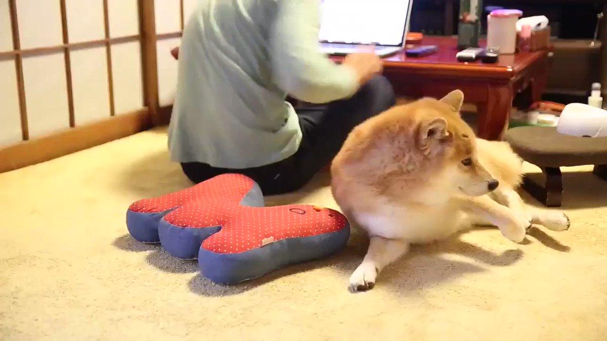 柴犬がリラックスしてる動画をお納めください