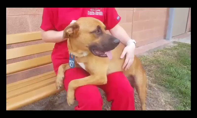 Image for the Tweet beginning: CRITICAL⚠️ ⚠️💥BEING OVERLOOKED  🆘HARRIS COUNTY ANIMAL SHELTER