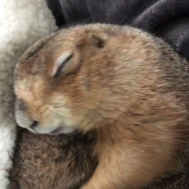 Herbie does not want his nap time cuddles to end #HerbieThePrairieDog