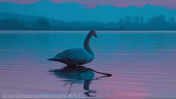 Un peu d'amour dans ce monde de brut 💕😀  . . . .  #adorable #animauxsauvages #animauxmignons #tropchoux #viral #animaux #animauxdecompagnie #animauxdroles #photographie #environnement #bonheur #planete #nature #cute #beau #picoftheday #cygne #Swan