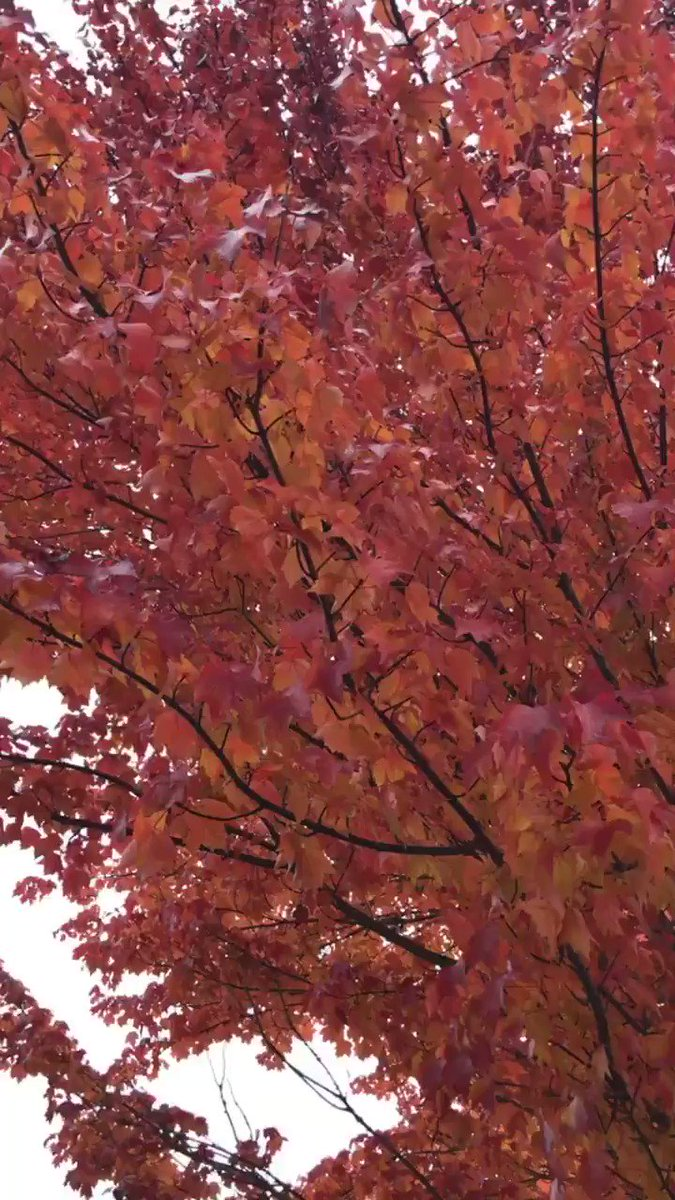 Image for the Tweet beginning: Look up and enjoy fall.