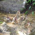 野鳥温泉にスズメの団体客がいらっしゃって大混雑となっております!