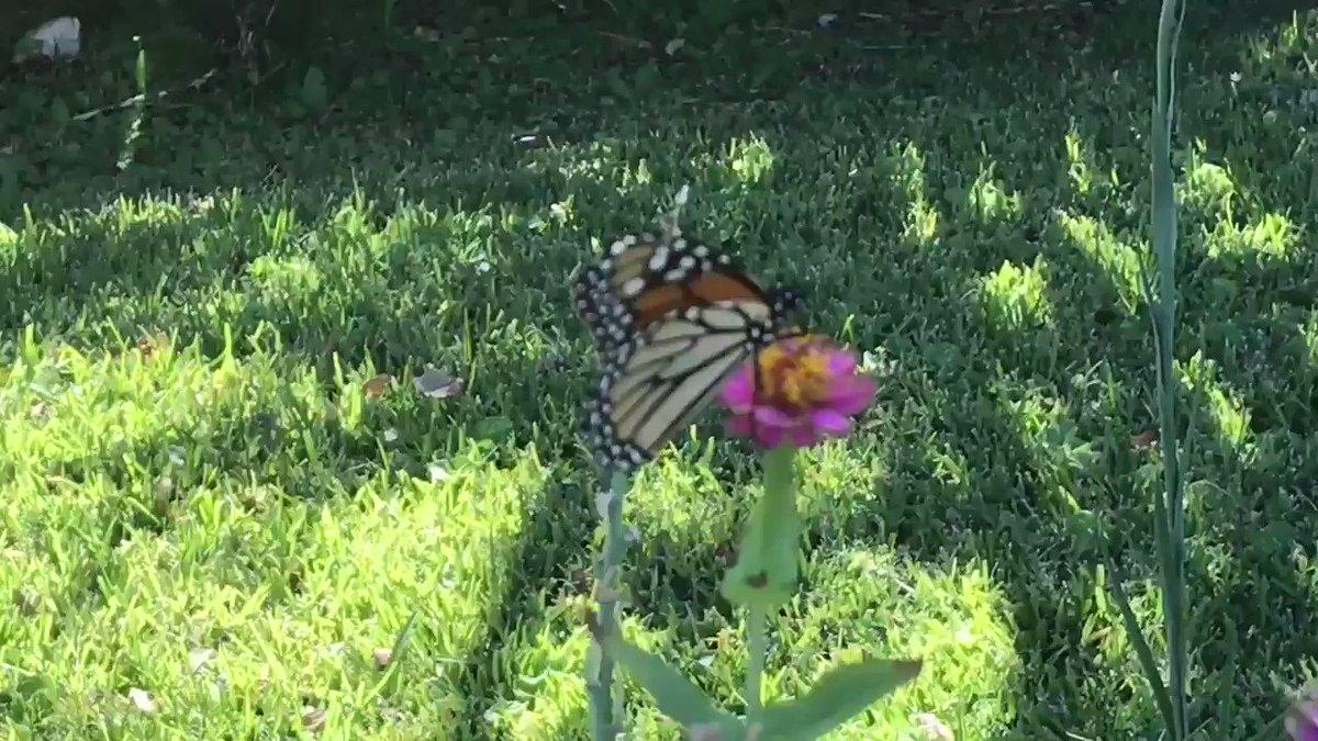 JUEVES DE REMEMBRANZAS (#TBT) - El #ciclo viajero de las #mariposas 🦋 #monarcas y sus destinos de Michoacán -  Canadá - Michoacán pasan por #Tejas y la casa 🏡 de Los Álvarez ....  The #Texas 🇺🇸/🇲🇽 #Michoacán #Connection   ÁGORA es un #Purepecha #Nicolaita y #LindauParaSiempre