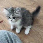 立ち上がって一生懸命猫パンチする子猫が可愛すぎる!癒し不足の方は是非!