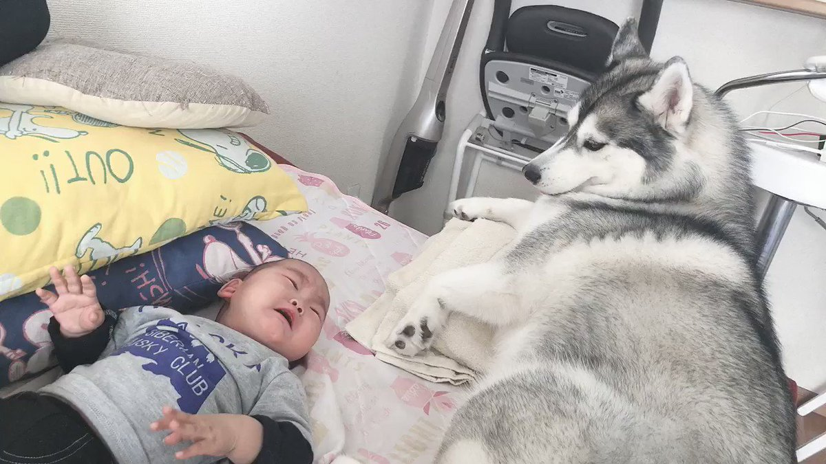 看病のつもりで寝てる息子の顔面舐めたらギャン泣きされた時のハスキーの対応
