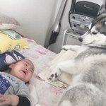 なぜ???看病のつもりだったのに!ハスキー犬が赤ちゃんに泣かれてしまった