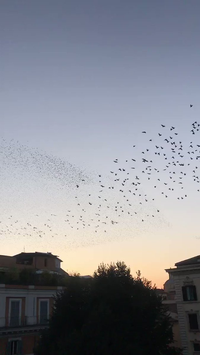 Beautiful flight of Rome's storni (starlings) that winter in the capital - they arrived last week. 4 million of them- they prefer the trees of Lungotevere - their droppings cause a lot of problems, I (a scooter driver) assure you!
