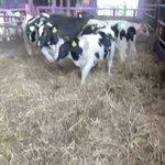 新しい藁にテンションが上がってはしゃぎまくる牛さん!カメラがあると分かるとテンションが・・・!