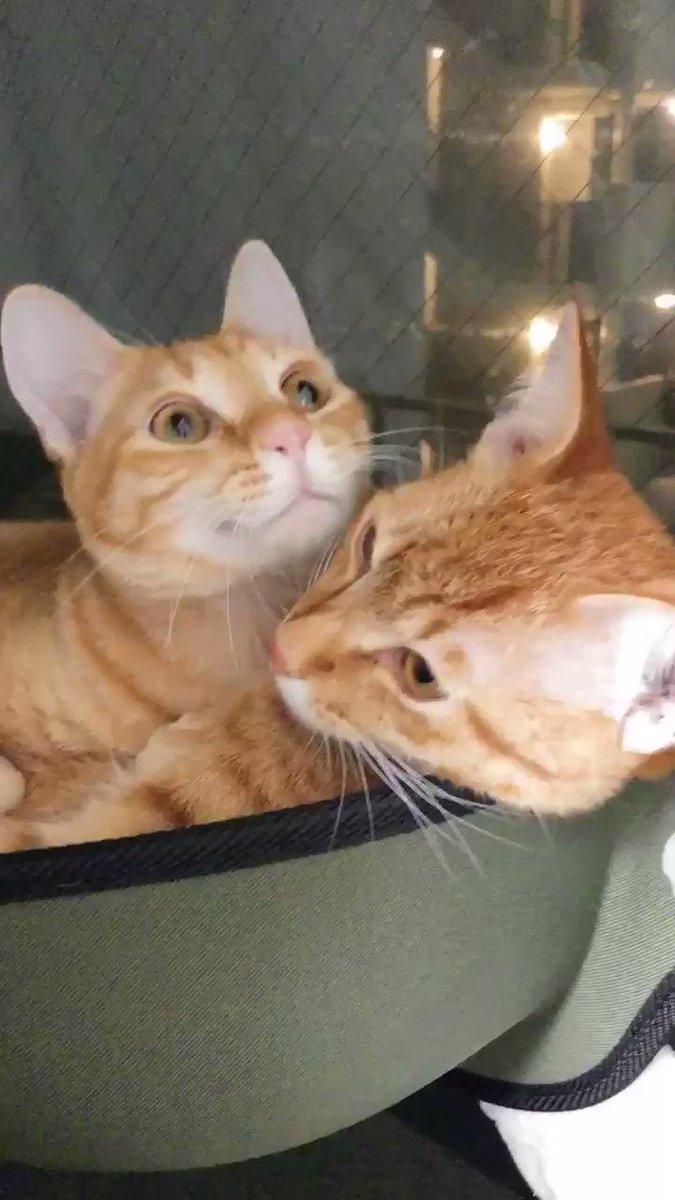 またも猫独占動画送られる。相当悔しいw #チャーミーとミーコ #ねこ動画 #猫盛り #猫独占