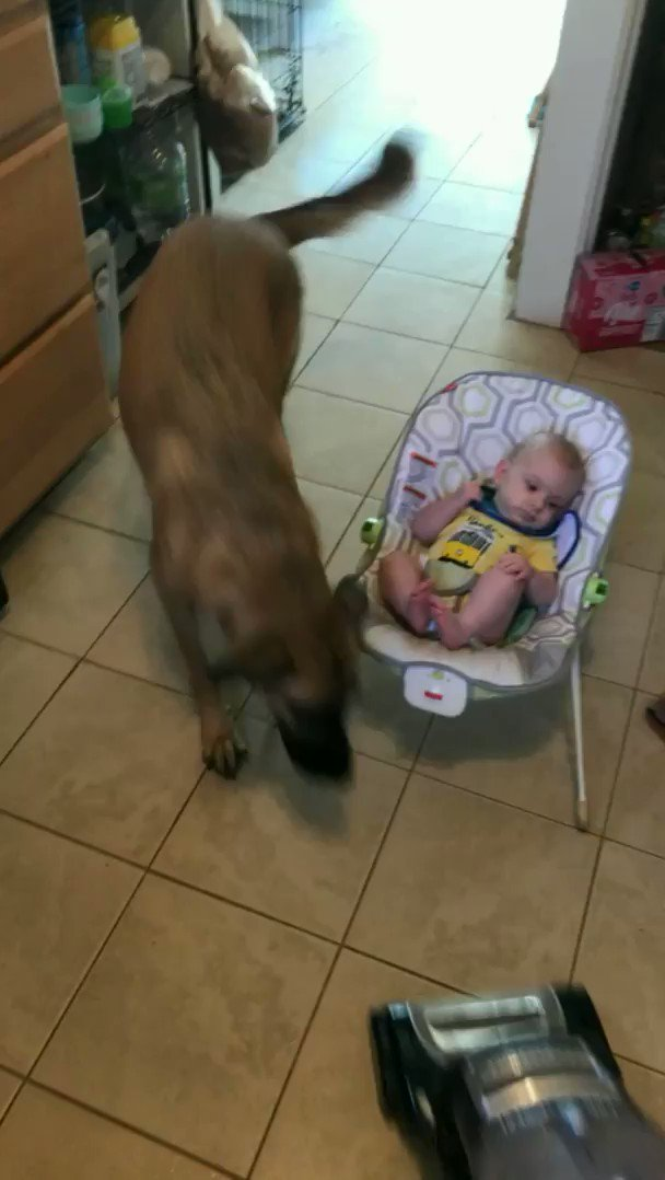 """""""Stella is terrified of the vacuum cleaner but if she has to lay down her life to protect the baby from it, by God she will.""""   via r/aww"""