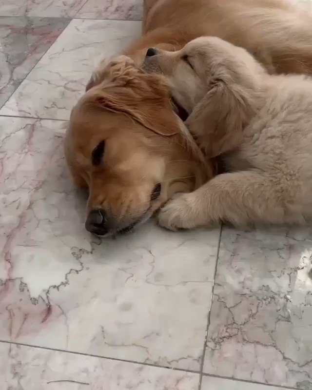 Replying to @myworld2121: When the mom becomes your best pillow ... !! 🐶♥️  📹goldengirl_xena Ig