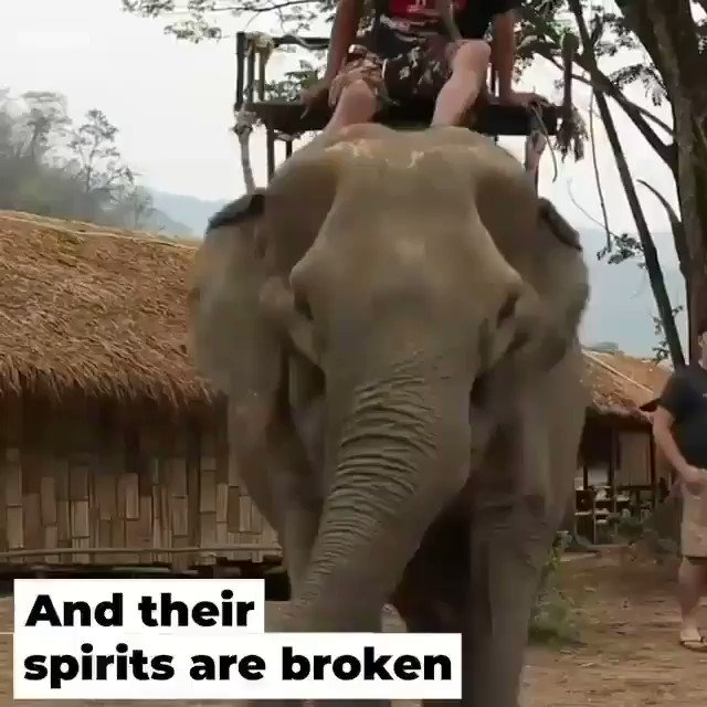 If you go on holidays pls never be part of the horrific elephant rides, they are abused and tortured to be trained for tourists, this is the truth of the rides, see it yourself. Babies are taken from their mothers to be tormented. Animals aren't transport or entertainment.#vegan