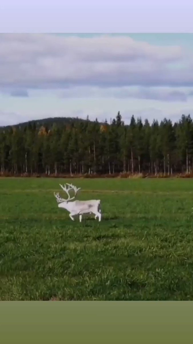 Be careful on the roads of Lapland. In autumn this reindeer could still be seen well, but no longer in winter ❄️🦌 . #whitereindeer #aboveordinary #originallapland #laplandfinland #reindeer #male #fall #autumn