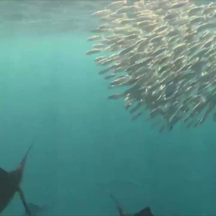 Clocking in at speeds of 70 mph, the sailfish is considered the FASTEST fish in the ocean.