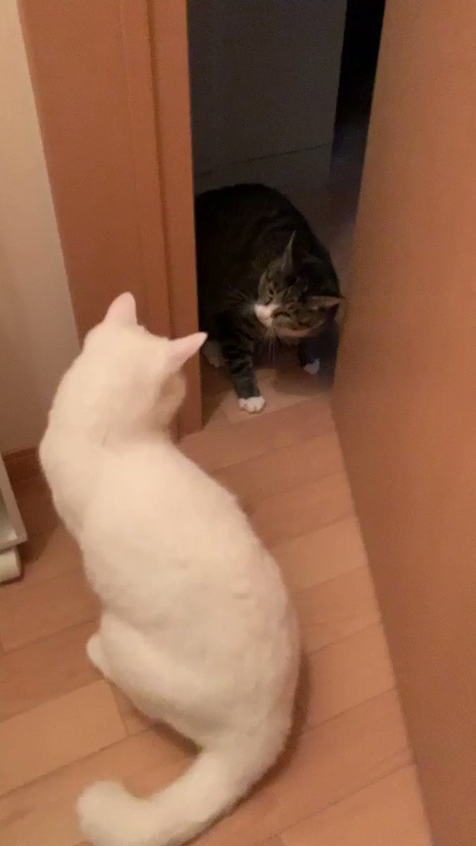 ゆきです。父がトイレに入っていたので私も一緒にトイレに入ったらそれを見てた双子ののあが独特な威嚇をしてきました。怖さよりも面白さが勝ってしまう威嚇です。こんなに威嚇してるのに私の後ろでは父が便器に座っているというシュールな状況なので私はどっちを相手すればいいのかパニックです。