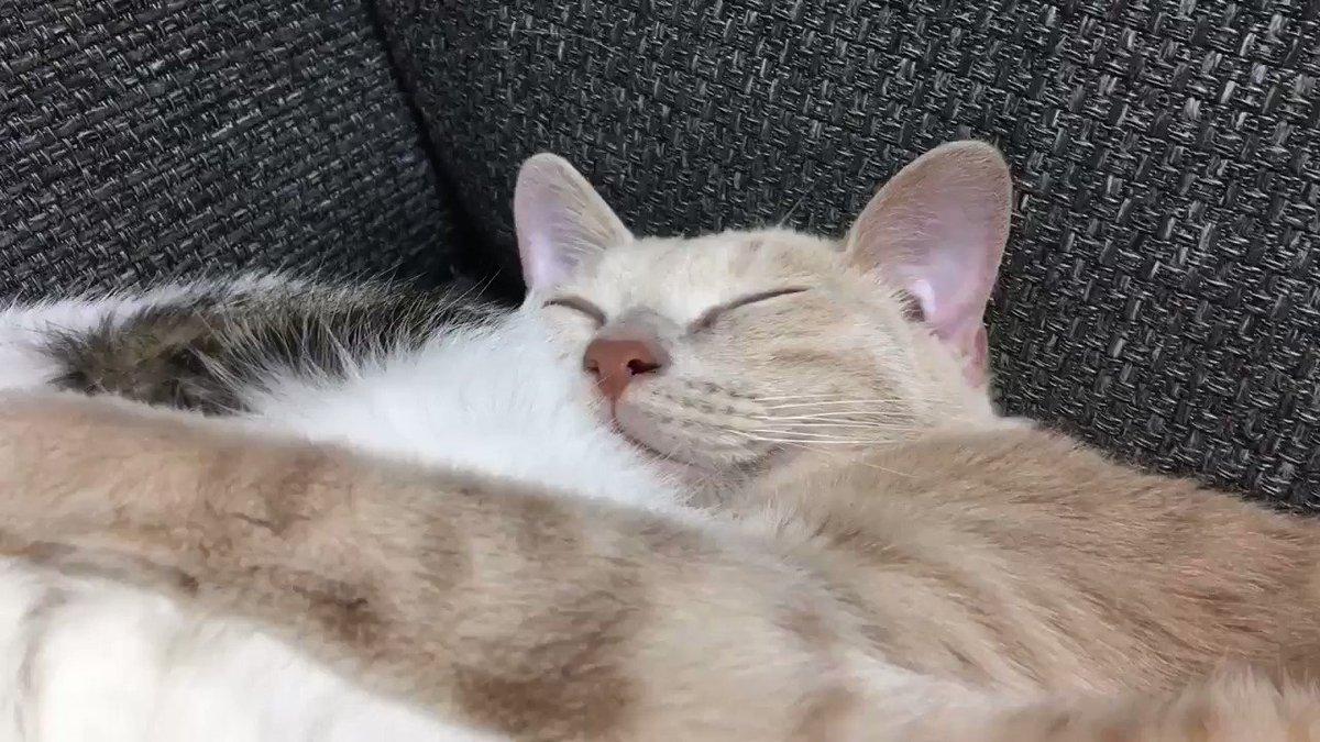 コムギちゃん専用小夜くん枕🐱