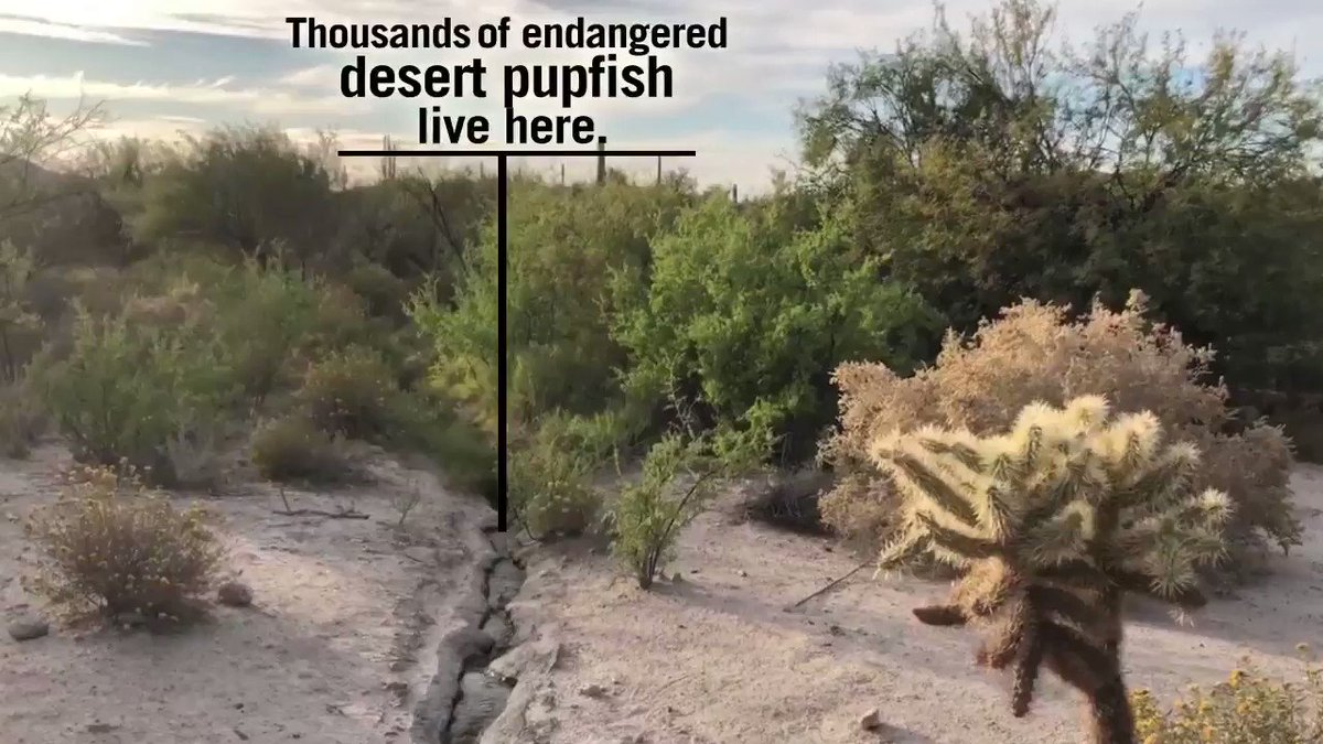 The Border Patrol is pumping thousands of gallons daily to mix concrete for the border wall. Right now construction teams are within miles of Quitobaquito Spring, heedless of draining this precious desert waterway and its endangered little denizens.