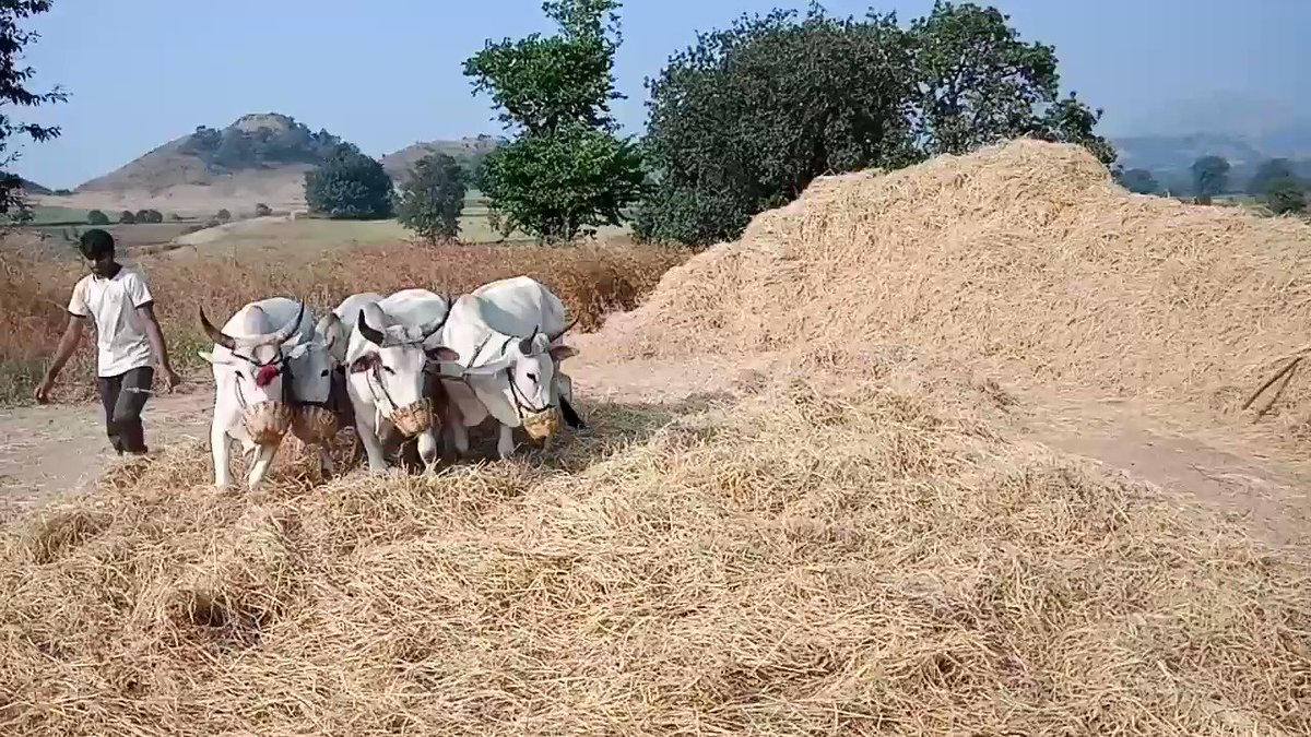 #Adiwasi #Farmers from the #tribal #area of #Maharashtra #Nandurbar Separating #rice from the #crop by #crush them under the feet of #bulls in #Kuwa #Village of #Akkalkuwa Taluka. @mataonline @Matapune @ParagKMT @ShreedharLoniMT @MTjitendra @AgriGoI @MinOfCultureGoI