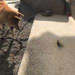 「めっちゃ威嚇してるじゃんw」カマキリVS柴犬の熱い戦いに胸が熱くなる