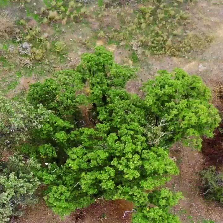 Image for the Tweet beginning: Ege'de toprak tavına geldi. Palamut