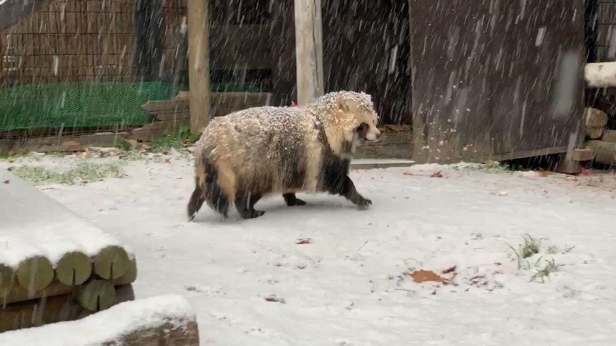 雪の中、初めて歩く今日のたぬき〜紅葉を添えて〜blog()#おびひろ動物園 #エゾタヌキ#obihirozoo   #raccoondog#今日のたぬき  #tanuki