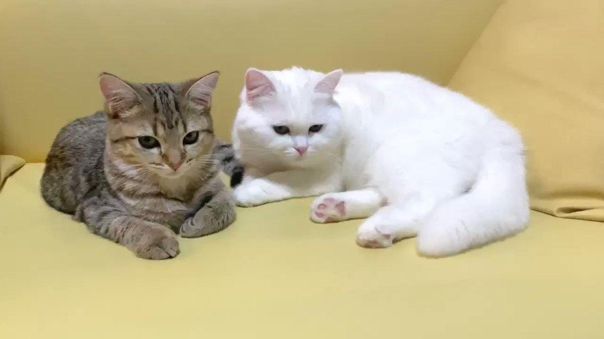 しまちゃんがポムさんの大きさに追いついてきた気がする。子猫の成長は早いものですね!