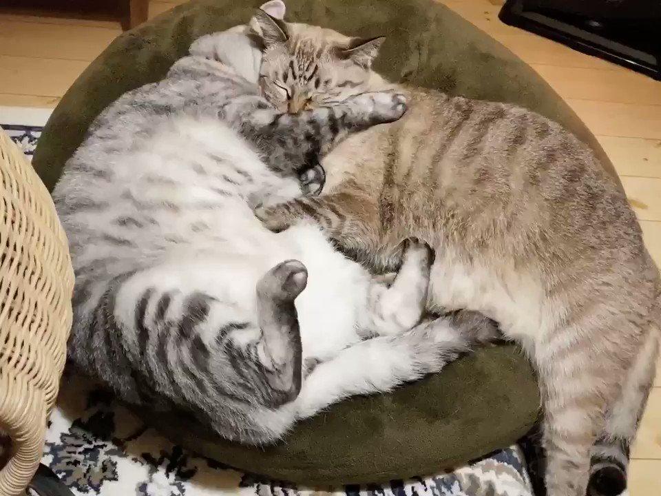 見た目は巨猫、気持ちは子猫