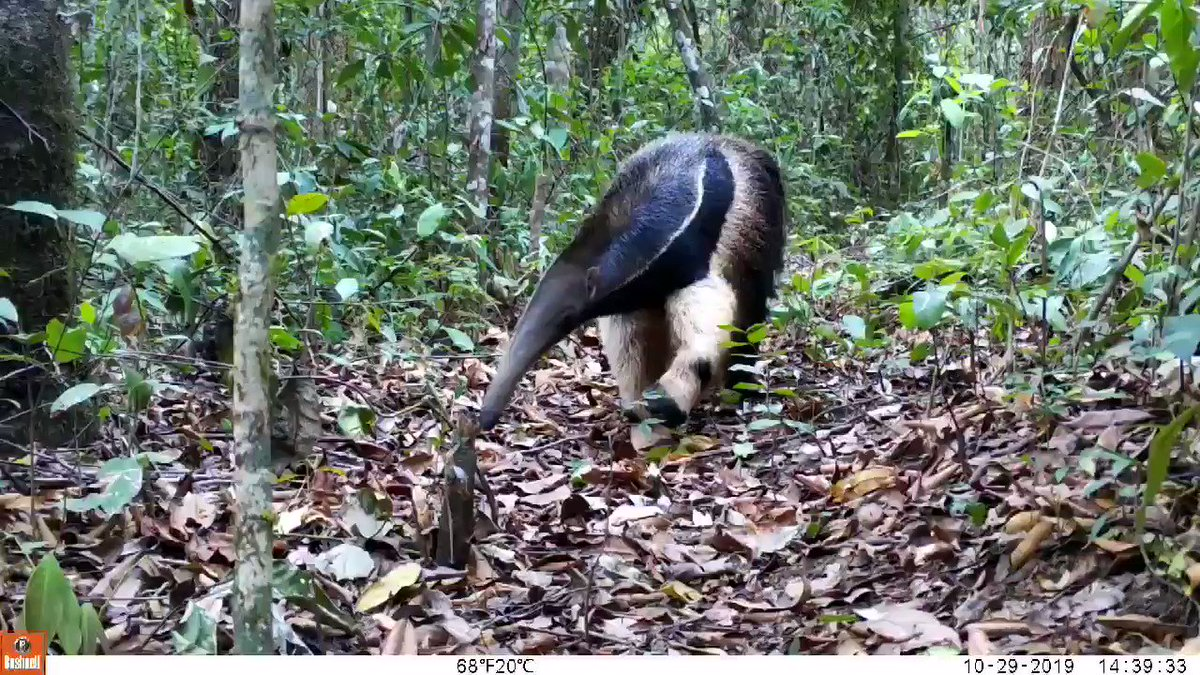 Image for the Tweet beginning: WHAT A GORGEOUS GIANT ANTEATER