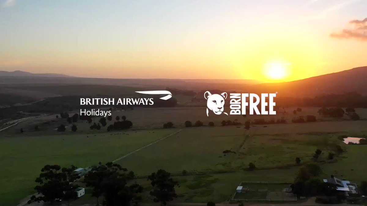 Watch as we help rehome lionesses Alpha and Cora at the Panthera Africa Big Cat Sanctuary in partnership with @BornFreeFDN. Visit: http://ba.com/animalwelfare