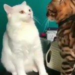【可愛すぎていつまでも見られる】ビンタされた猫の表情が怖すぎて話題に