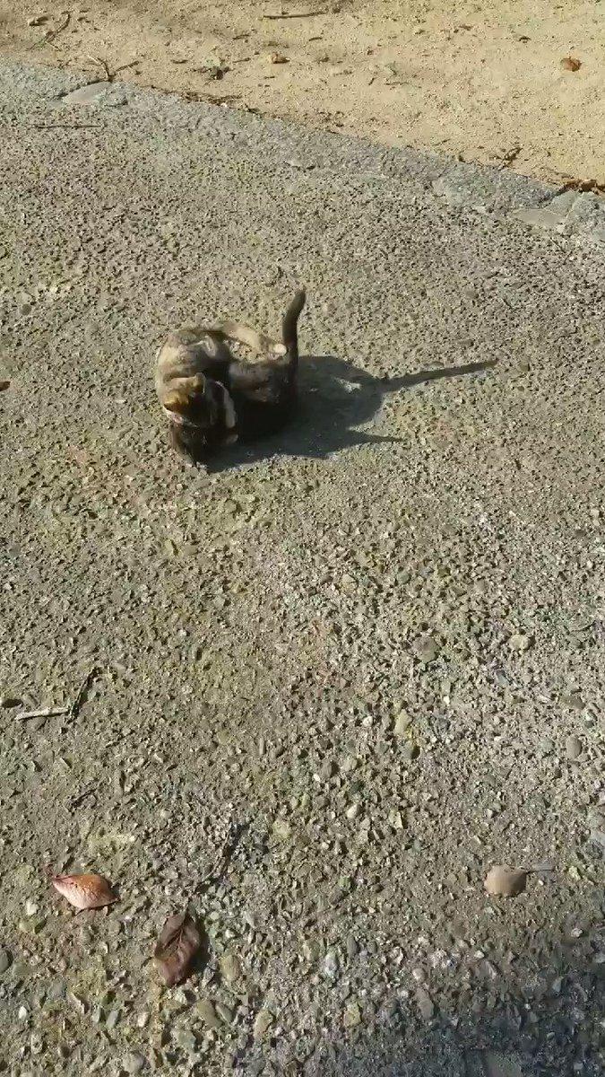 子猫の練習風景☺️  #練コ #練コまつり #黒猫 #ブッチねこ #子猫