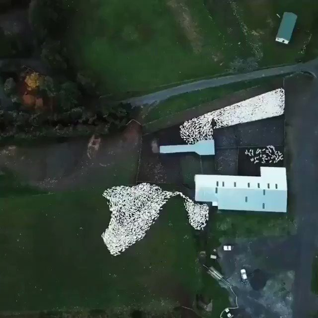 An aerial view of a sheepdog as it demonstrates fluid mechanics, and it also shows a sheep is a particle, while a flock is a wave.