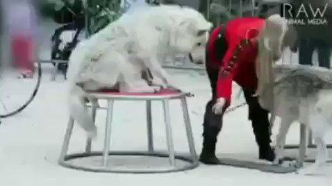 Elephants and big cats are not the only animals being abused in circuses. This heartbreaking video shows how wolves in the circus are treated. 🐺💔#BoycottTheCircus