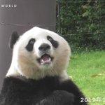 【パンダと言えば竹】お気に入りの竹を探している姿は正に人間
