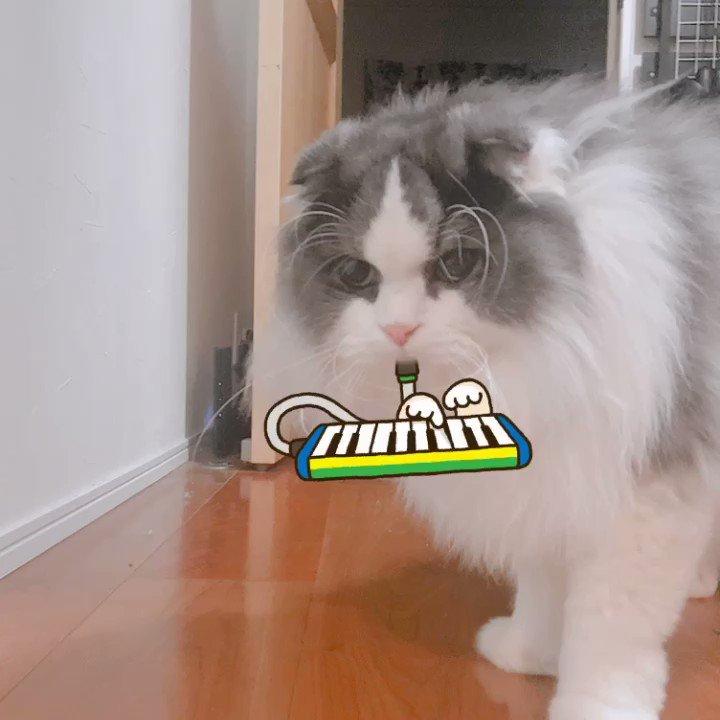演奏してみた😹#スコティッシュフォールド #猫好きさんと繋がりたい #猫好き #猫 #cat #猫好き #猫好きな人と繋がりたい  #イケメン #写真好きな人と繋がりたい #canonx9i #猫の