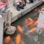 池の中のこいに猫ちゃんが気になって!ちょっかいを出している様子!