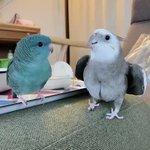トトロを歌うインコと合いの手を入れるインコ!二羽によるデュエットが可愛い!