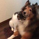 猫が犬にじゃれている動画!可愛すぎて癒される!