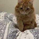 こてんする猫?「こてん」と言うとこてんしてくれる猫が超かわいい!