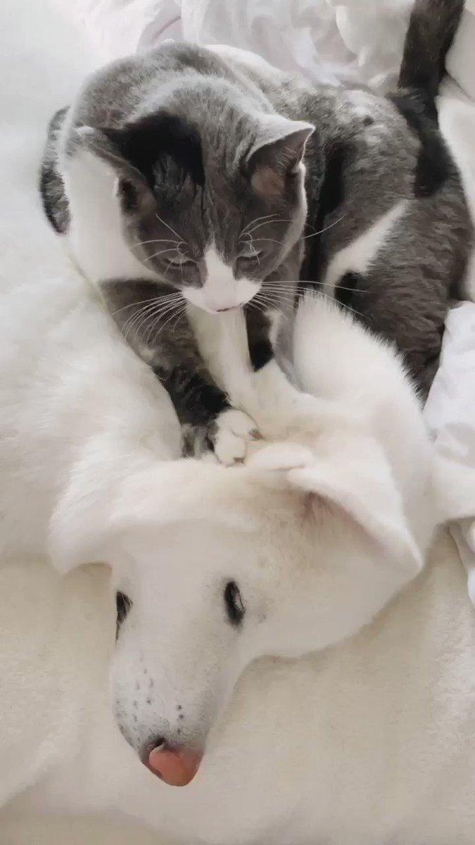 至れり尽くせり猫。 #柊と梅 #秋田犬と猫