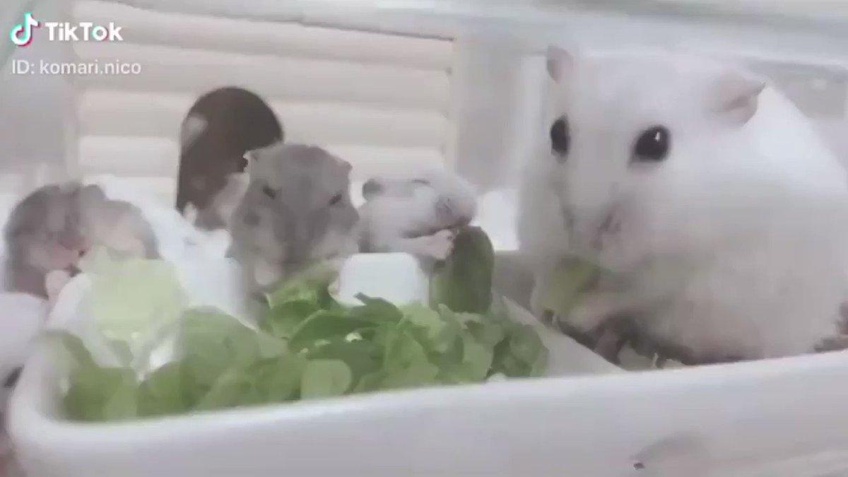 赤ちゃんハムスターも、もりもり食べてる📸  (TikTok)