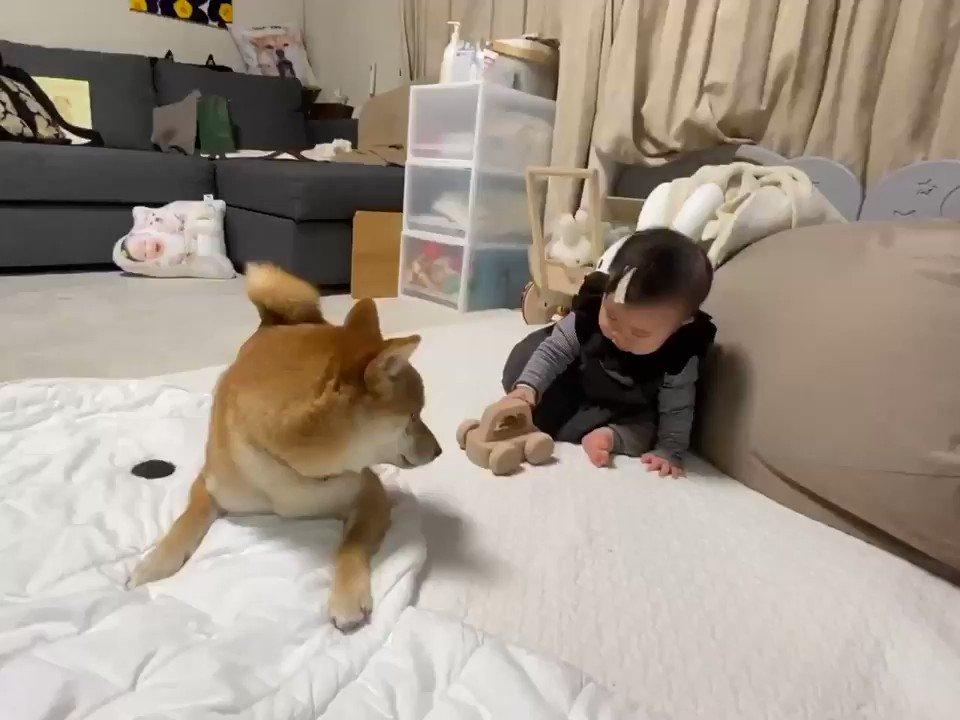 娘が音の鳴るおもちゃで遊んでいたら、隣にいた柴犬さんも音を鳴らそうと頑張ってしまう
