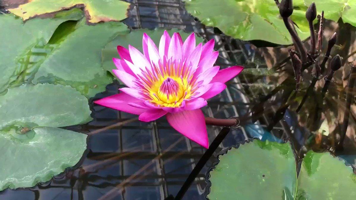 おはようございます⛅️12月6日  金曜日花は朝開いて夕方まで咲き続けます。昼咲きのほか夜咲き性の種類もあり、開花期間も長いです💐#ピンク#熱帯スイレン   #水生植物#Flower↑ ↑ ↑YouTube始めてみました。何卒、よろしくお願い致します🙇♂️