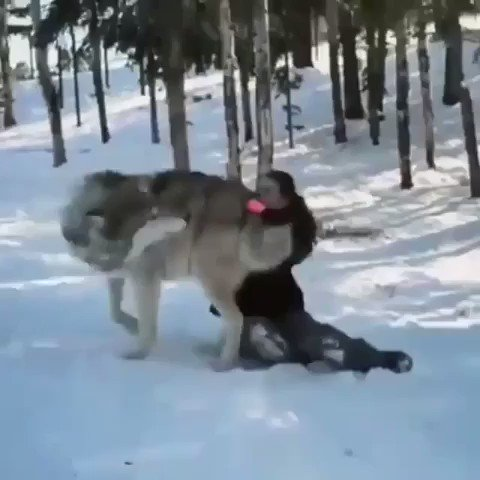 Massive grey wolf becomes a good boy when visited by the people that helped raise his pack