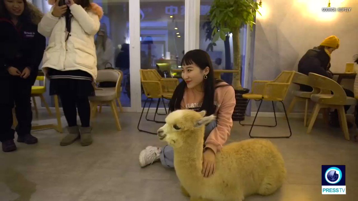Adorable '#alpaca waiters' used to attract customers in Chinese restaurant #China #AnimalLovers
