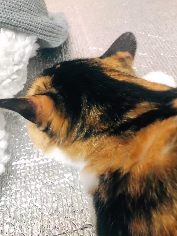 腰をポンポンされてる時のうちの三毛猫の声があまりに可愛いので聞いて欲しいです…毎日何度もポンポンを強いられます…(ポンポン音が自分でも驚くほど大きいですがめちゃくちゃ優しくツボを心得たポンポンです)