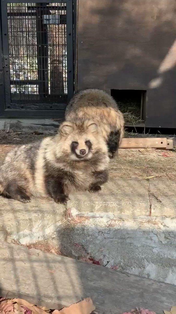 たぬのモフみと共にあらんことを#おびひろ動物園 #エゾタヌキ#obihirozoo   #raccoondog#今日のたぬき  #tanuki